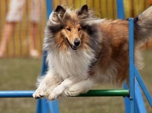 chien_lassie_agility