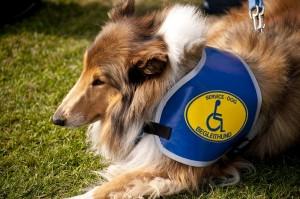 chien_pour_personnes_handicapees